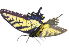 570125TigerSwallowtail.jpg